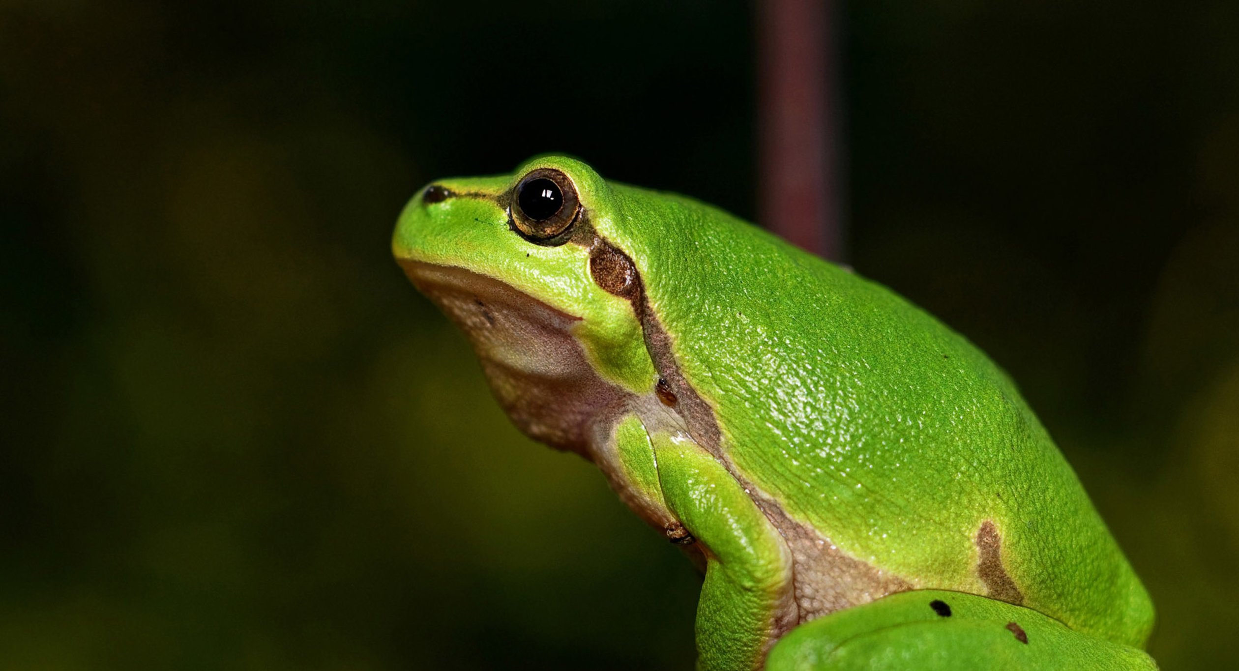Green Frog for Sciences 1