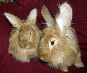 rabbit_lionheads